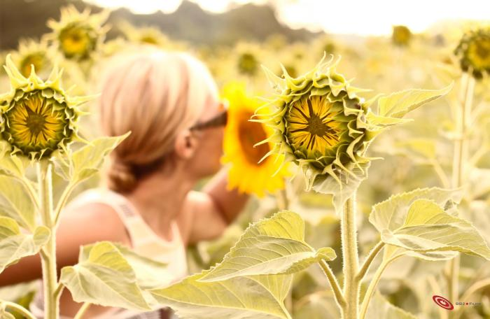 spiritual meaning of sunflowers  silvia mordini, Natural flower